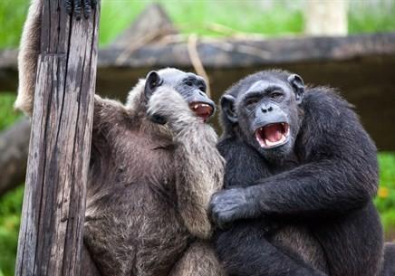 Gorillas at Zoo